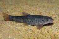 Garrarufas 3-4 cm (50 peces)