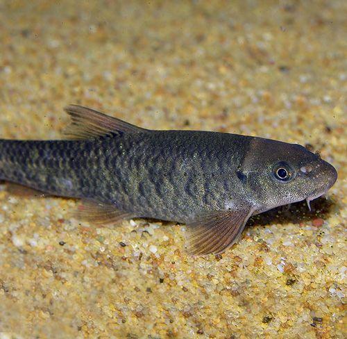 Garrarufas 4-5 cm (200 peces)